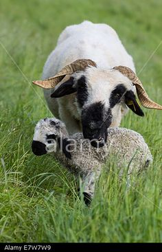 #Ewe With Two Day Old #Lamb @Alamy #Alamy @AlamyContent #animals #nature #motherhood #childhood #ktr14 #stock #photo #download #portfolio #hires