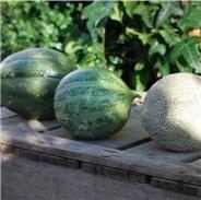 Réussir la culture des melons