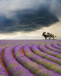 Curved rows of lavender with storm clouds looming in the horizon