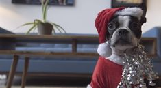 Happy Holidays from this Boston Terrier on the iRobot Vacuum! Watch ► http://www.bterrier.com/?p=27723 - https://www.facebook.com/bterrierdogs