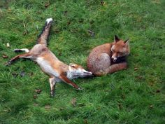Stop it!  I'm trying to sleep here  ;-) South London foxes by nick.hider, via Flickr Trying To Sleep, Im Trying, South London, Foxes, Owl, Animals, Animales, Animaux, Owls