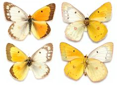 Spectacular Genetic Anomaly Results in Butterflies with Male and Female Wings science genetics butterflies