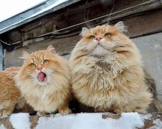 Every Winter these Siberian Cats Fluff Up and Play in Snow with their Human - Love Meow