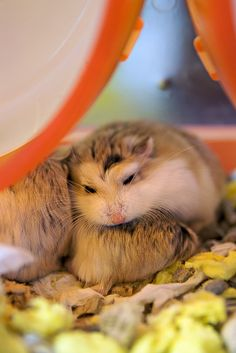 Sleeping Robos Robo Dwarf Hamsters, Robo Hamster, Cute Hamsters, Hamster Pics, Roborovski Hamster, What Is Cute, Quokka, Cute Little Animals, Rodents