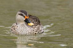 Indian Spotbill Duck via ejphoto.com
