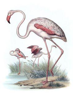 Greater Flamingo (Phoenicopterus roseus).    From Bilder-atlas zur Wissenschaftlich-populären Naturgeschichte der Vögel ( Atlas, or Volume of plates to Scientific and popular natural history of birds), by Leopold Joseph Fitzinger, Vienna, 1864.    (Source: archive.org)