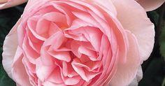 Typ: Englische Rose, Strauchrose. Züchter: Austin, 1984
