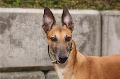 Meet Brock, he is a laid back, friendly, affectionate guy. He loves walks and running around the yard. Treats, walks and soft beds are his favorite. Brock has lived with cats. He does fine with small dogs, but has not lived with them. Brock needs a home without children. This boy is just a love! #adoptaretiredracer #greyhound #greyhoundsmakegreatpets