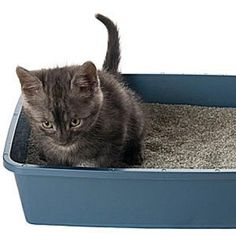 Litter Training Kittens and Cats | Catster