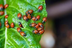 How To Attract Thousands Of Ladybugs To Your Garden & Keep Them There Snow Leopard, Get Rid Of Aphids, Small Insects, Garden Pests, Garden Insects, Garden Bugs, Herbs Garden, Gardens, Gardening