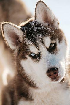 Husky Puppy in Snow   © Jesse James