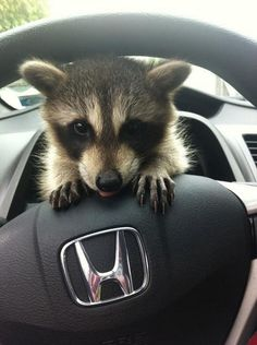 46 Happy Images - This baby raccoon watching you drive. Animals And Pets, Baby Animals, Funny Animals, Cute Animals, Strange Animals, Cute Creatures, Beautiful Creatures, Animals Beautiful, Baby Raccoon