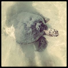 Hapuna beach sea turtle - @mauilani- #webstagram
