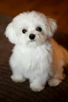 Such a cute Maltese #maltese