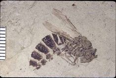 Fossil Bee, about 35 million years ago