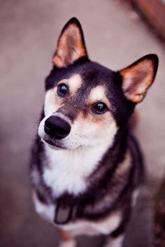 Beautiful dog, beautiful picture.  Apparently a Shiba.