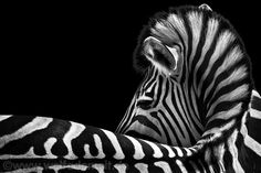 Out of my series ANIMALS…It took two years until I could take this picture. Before that I had made ​​another zebra picture and recognized the potential vortex. Unfortunately you can not plan animal pictures, so I had to wait a long time until a zebra lay down again the same way.