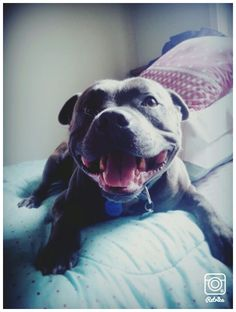 English blue brindle staffordshire bull terrier. Happy face. #lovedogs #bully #love…