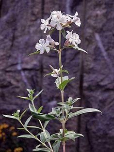 Saponaria officinalis - rohtosuopayrtti