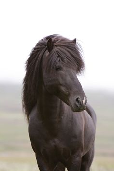 Little stallion, Black Beauty, horse, hest, animal, beautiful, gorgeous, photo