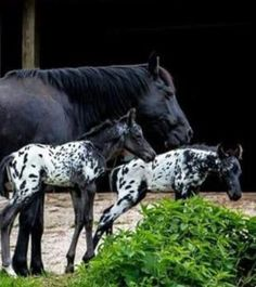 What adorable foals! Appaloosa spots all over. Baby Horses, Cute Horses, Horse Love, Wild Horses, All The Pretty Horses, Beautiful Horses, Animals Beautiful, Horse Photos, Horse Pictures