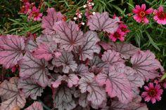 schattenpflanzen purpurglöckchen heuchera