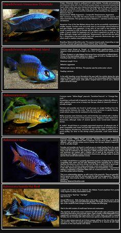 African Cichlids-Page-3--