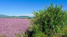 ORAA98 - Sauge sclarée et bambous - Village d'Oraison - Alpes de Haute Provence 04