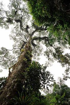 O jatobá (Hymenaea courbaril) é um gigante da floresta. Pode medir entre 30 e 45 metros de altura e o tronco pode chegar a dois metros de diâmetro: http://abr.ai/1uFJipP
