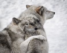 The Special Love between Wolf Companions. Beautiful Wolves, Animals Beautiful, Animals And Pets, Cute Animals, Nature Animals, Wild Animals, Baby Animals, Husky, Two Wolves