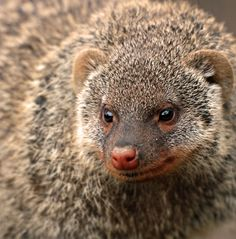 Mongoose by Eva L Mongoose, Interesting Animals, Animal Photography, Pet Birds, Ark, Photos, Pictures, Beautiful, Nature