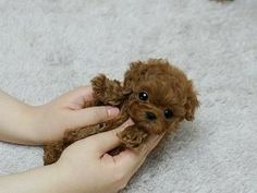 Adorable Amazing Cutie ~ Precious Micro Teacup Poodle Beautiful red so adorable! Cute Little Animals, Cute Funny Animals, Little Dogs, Tiny Puppies, Cute Puppies, Cute Dogs, Teddy Bear Puppies, Puppies Tips, Micro Teacup Poodle