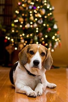 Could be Butch!!  <3  Christmas Beagle by Rich Terrell #Beagle