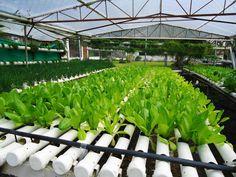 Inilah Resiko dan Keuntungan Hidroponik Tanpa Greenhouse