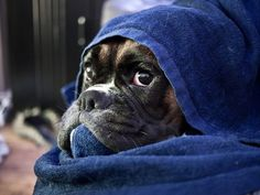 Pictures of Boxer Dogs