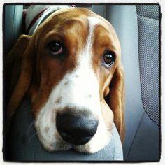 Parker the basset hound!