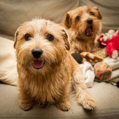 Norfolk Terriers