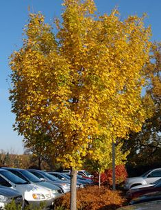 Trees from Chicagoland Grows : Morton Miyabe Maple – State Street Drought Tolerant Trees, Salt Lake County, Street Trees, State Street, Maple Tree, Backyard Makeover, Country Roads, Landscape, Zone 7