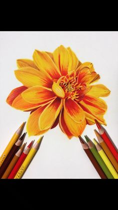 Jennifer Morrison Art is creating Botanical Colored Pencil Drawing Tutorials Pencil Drawings Of Flowers, Colored Pencil Artwork, Cool Art Drawings, Pencil Art Drawings, Art Drawings Sketches, Colorful Drawings, Drawing Flowers, Drawings With Colored Pencils, Pencil Colour Painting