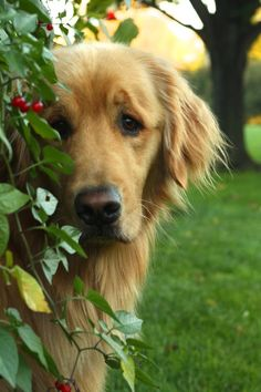 Golden Retriever - Golden Retrievers the charming dogs with beautiful shining coats. These dogs are loyal, obedient, intelligent and affectionate. They are ranked as 4th most obedient among all dog breeds