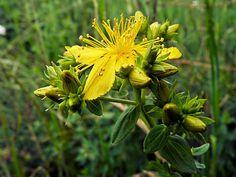 Sint-Janskruid - Hypericum perforatum. - Foto gemaakt door pinterester Adri v.d.S - Bord Wilde Gele bloemen - Yellow wildflowers