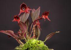 lepanthes felis Paludarium, Vivarium, Tropical, Nature, Gardening, Warm, Beautiful, Mini, Cute Stuff