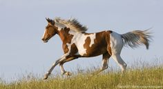 What is the difference between a Paint Horse and a pinto horse? Breeds that commonly produce pinto horses include the American Saddlebred, Gypsy Horse and Miniature Horse. Breeds such as the Spotted Saddle Horse and Spotted Draft Horse are exclusively pintos.