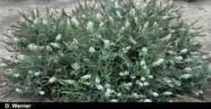 """Buddleia Ice Chip, (Plant Delights Nursery, Inc.). 24"""" x 3' (or more) makes this a nice groundcover."""