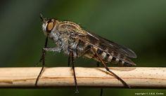 Viltvlieg  (Van vroegevogels)