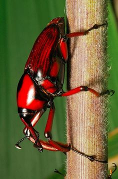 Besouro vermelho...