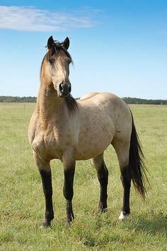 If i could have any horse in the world. Buckskin.
