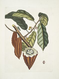 Image ID: 400850  Cacao Arbor, The Cacao-Tree. (1754