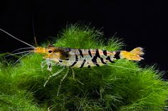 Super Tiger Shrimp -  (http://www.eliteinverts.com/super-tiger-shrimp/)