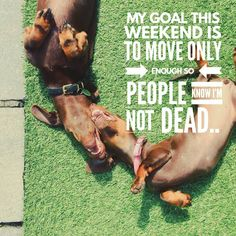 My Dachshund Plan for the weekend, really funny